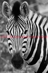Zebra 39 Greeting Card 8X10 Matted Print (5X7 Photo) 11X14 (8X10