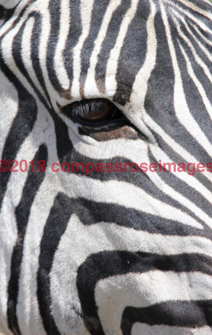 Zebra 40 Greeting Card 8X10 Matted Print (5X7 Photo) 11X14 (8X10