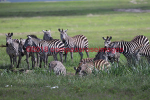 Zebra 35 Greeting Card 8X10 Matted Print (5X7 Photo) 11X14 (8X10