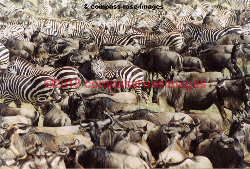 Zebra 10 Greeting Card 8X10 Matted Print (5X7 Photo) 11X14 (8X10