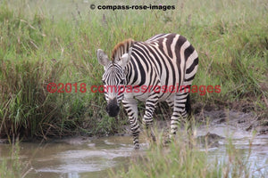 Zebra 21 Greeting Card 8X10 Matted Print (5X7 Photo) 11X14 (8X10