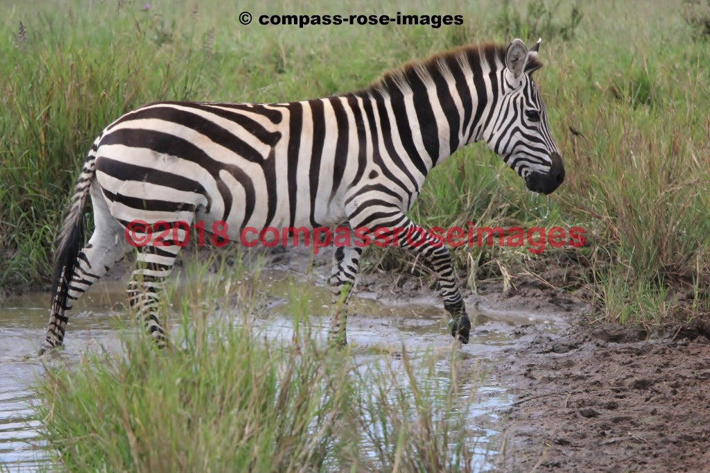 Zebra 22 Greeting Card 8X10 Matted Print (5X7 Photo) 11X14 (8X10