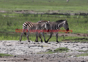 Zebra 34 Greeting Card 8X10 Matted Print (5X7 Photo) 11X14 (8X10