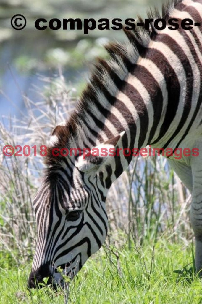 Zebra 13 Greeting Card 8X10 Matted Print (5X7 Photo) 11X14 (8X10