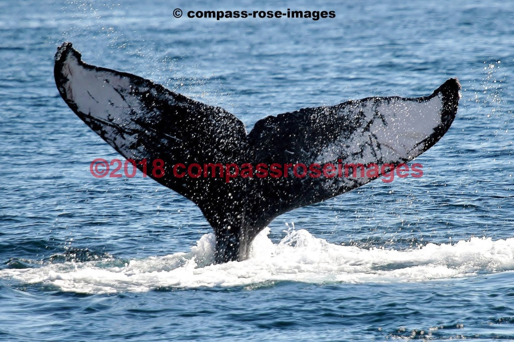 Whale 1 Greeting Card 8X10 Matted Print (5X7 Photo) 11X14 (8X10