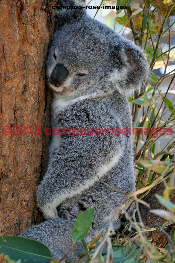 Koala 2 Greeting Card 8X10 Matted Print (5X7 Photo) 11X14 (8X10