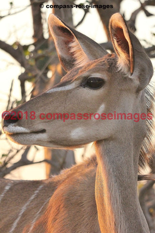Kudu 2 Greeting Card 8X10 Matted Print (5X7 Photo) 11X14 (8X10