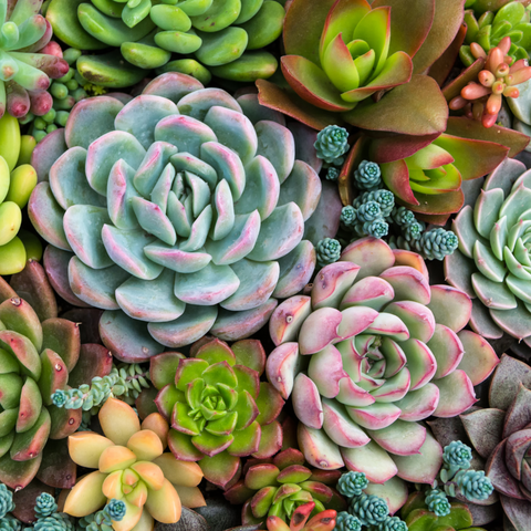 Succulents by Number Kit