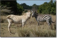 even zebras want to get in on the white action