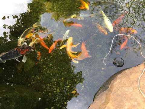 floating pond thermometer for koi fish