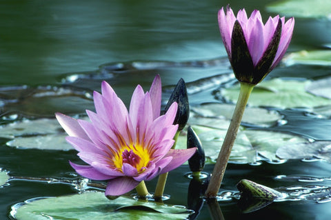 water lily with aquatic soil