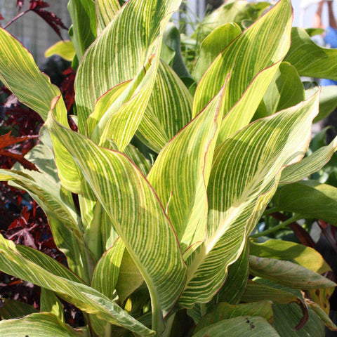 Variegated Canna