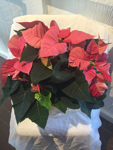 Poinsettia at Fleuristic Flowers Gift Shop Guelph