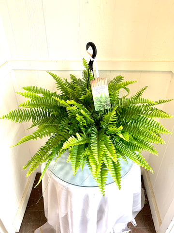 "Boston Ferns 10"" ( 2 for $45 )"