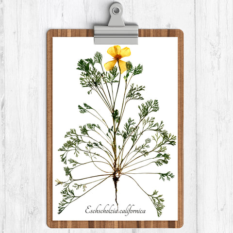 "Ecobota - California Poppy Botanical Print, Reproduction Herbarium Specimen Prints 11"" x 14"""