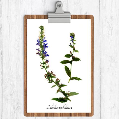 "Ecobota - Blue Lobelia Reproduction Herbarium Specimen - Art Print Pressed Botanical 11"" x 14"""