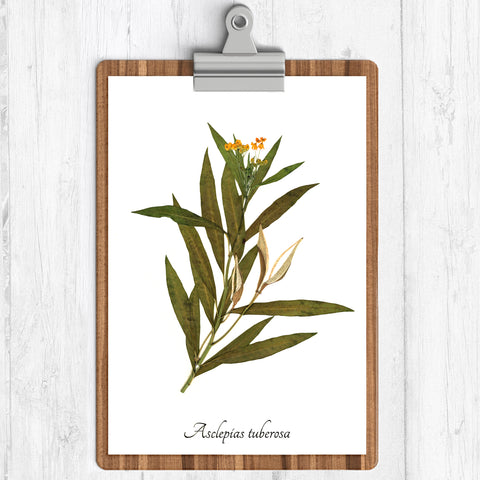 "Ecobota - Butterfly Weed Botanical Print - Reproduction Herbarium Art - Botanical Art 11"" x 14'"