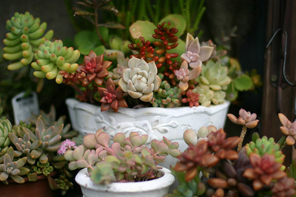 Succulent And Cactus Plant Care Fractalflora
