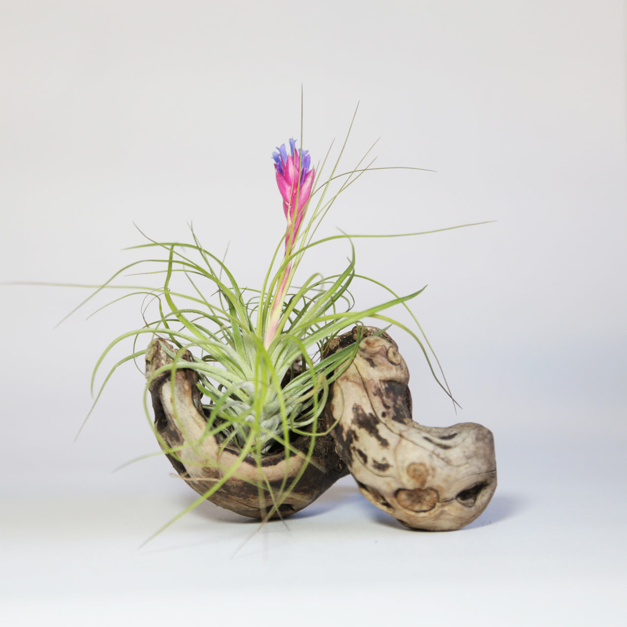 Air Plant Tillandsia Grapewood Display Fractalflora