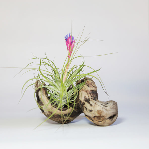 Air Plant Tillandsia & Grapewood Display