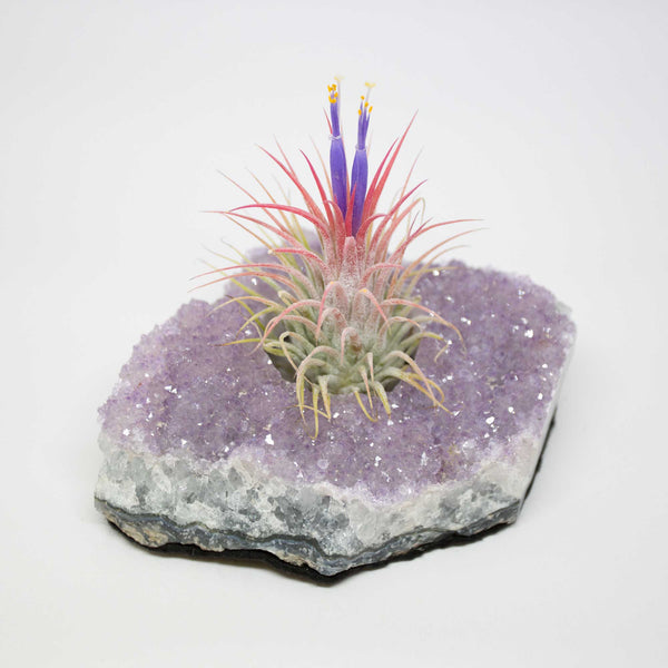 Air Plant Ionantha & Amethyst Cluster Display
