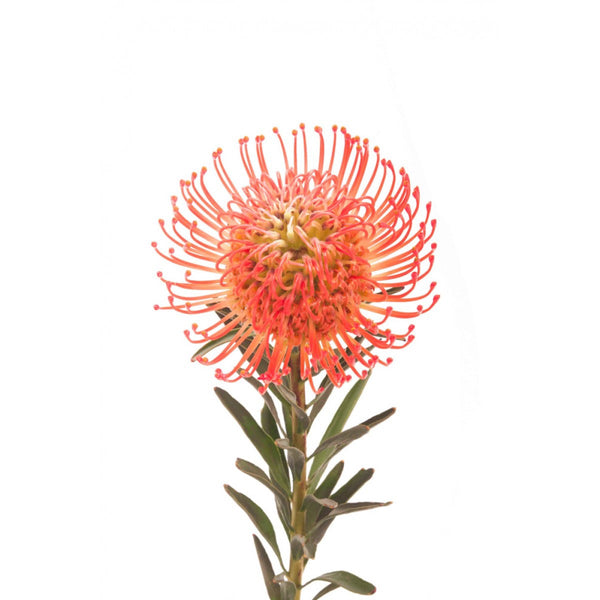 Pin Cushion Flower