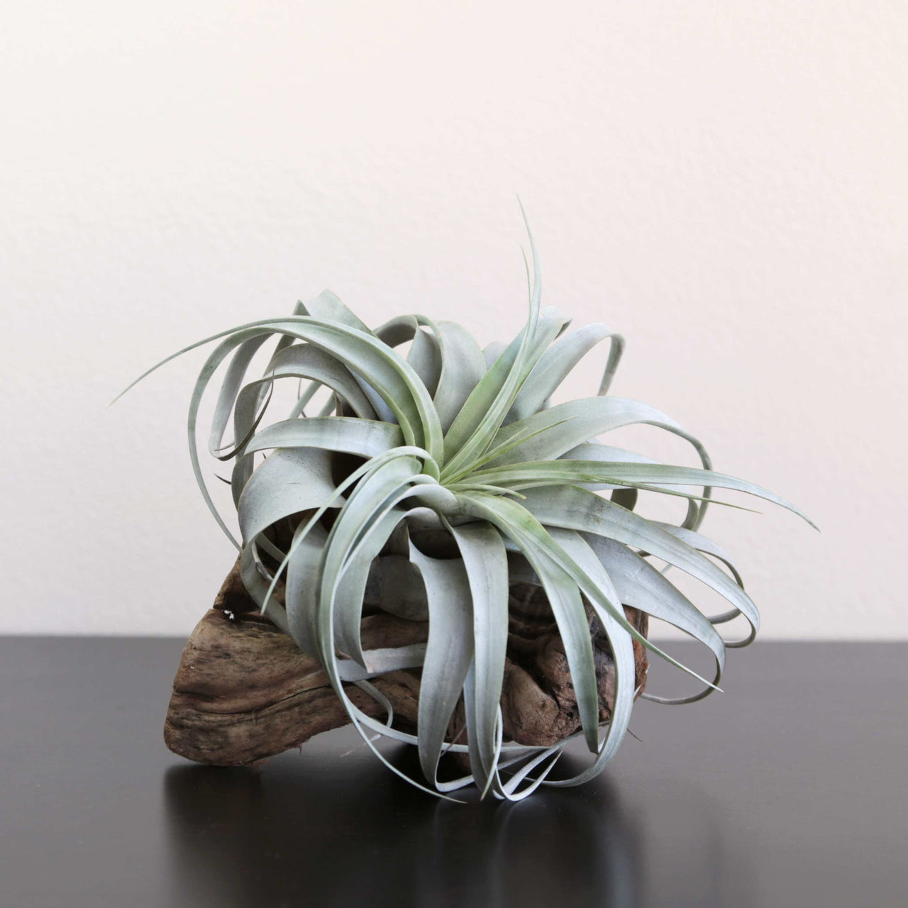 Large Air Plant Xerographica Grapewood Display Fractalflora