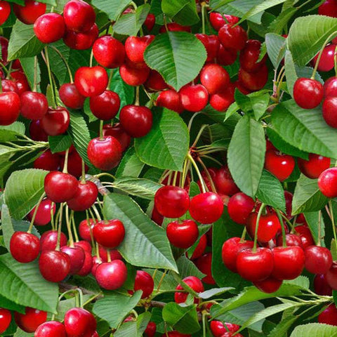 Berry Good Cherries