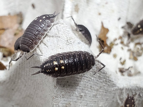 "Porcellio Ornatus ""South"" Isopods"