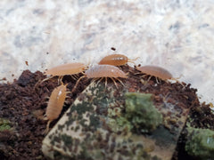 Powdery Orange Isopods