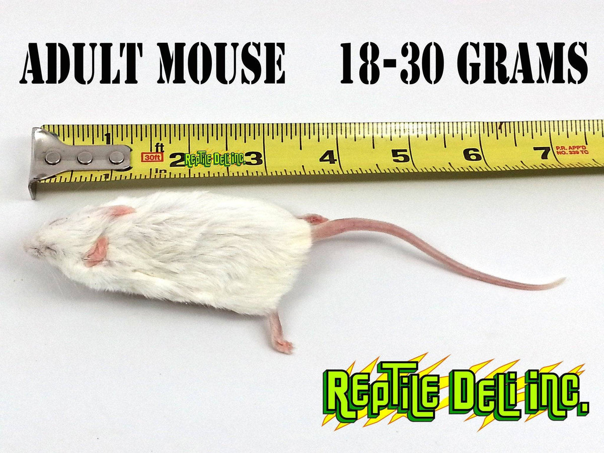 Mouse - Adult