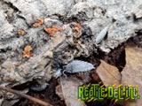 Dalmation Isopods