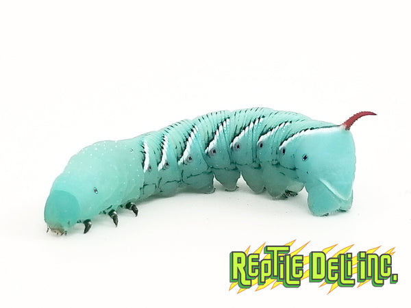 Horn Worm Cups - Goliath Worms - Large