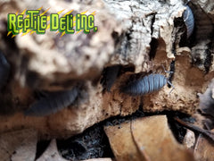 Powdery Blue Isopods