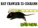Rat - Crawler