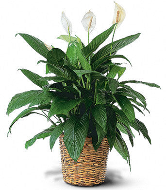 Peace Lily in a Basket