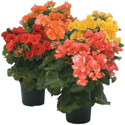 Rieger Begonia Trimmed