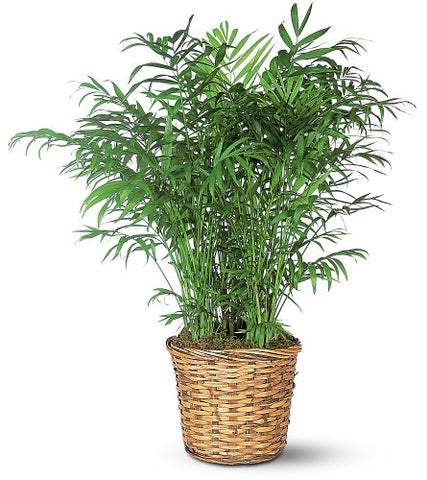 Parlor Palm (Neanthe Bella)