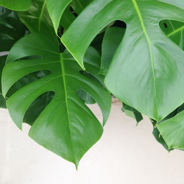 renskeversluijs monstera