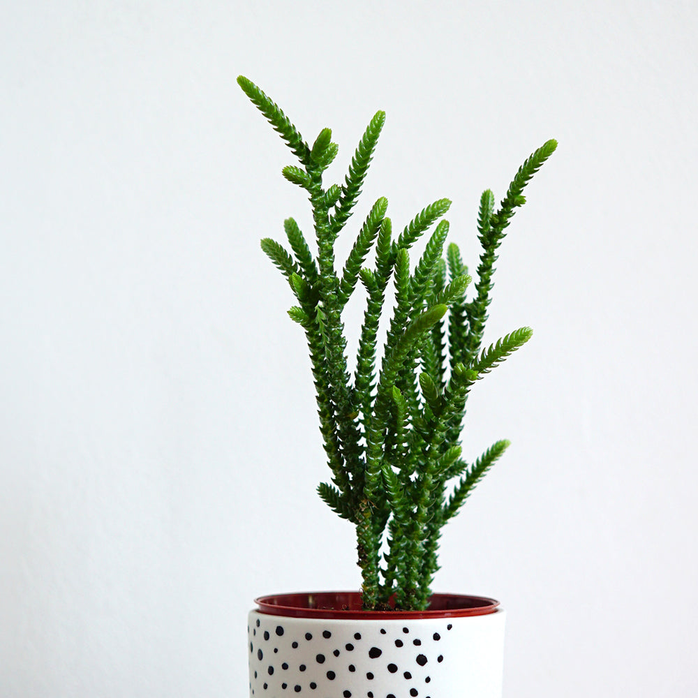 Renske Versluijs - porcelain cup with crazy crassula