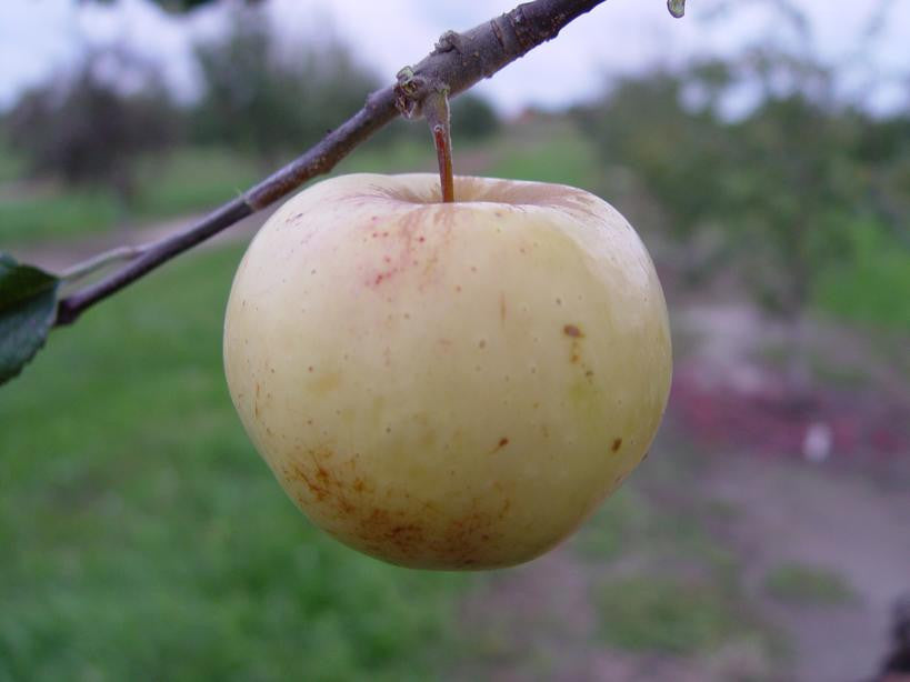 SELECT Seedling Apple