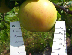 Polish 18 Apple Rootstock - Full Size & Cold Hardy!  (P.18)