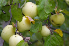 Apples and Chestnuts - Super Bundle