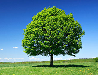 Linden Tree, A Natural Healer