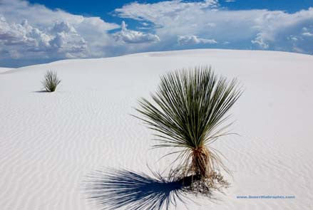 White Sands, New Mexico Postcard