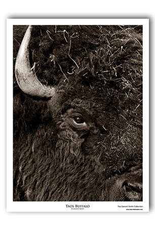 Taos Buffalo Art Print by Geraint Smith