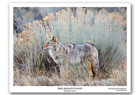 New Mexico Coyote Art Print by Geraint Smith