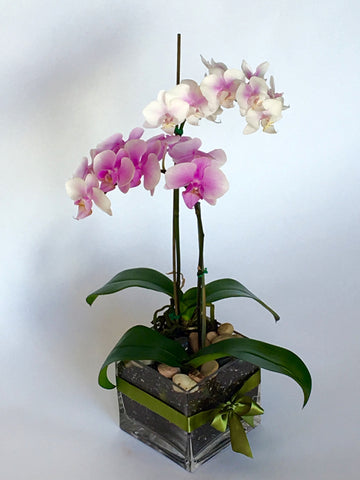 Duet of Orchids