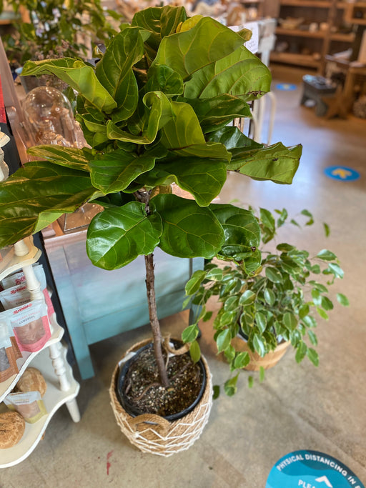 Fiddle Leaf Ficus 3 Gallon