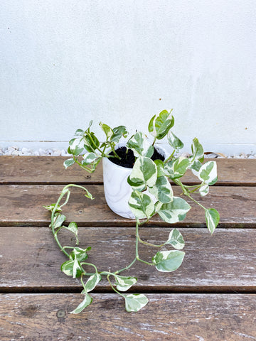 Variegated Pothos in white/grey marbled ceramic pot